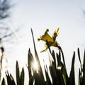 Billede af påskelilje i det fri